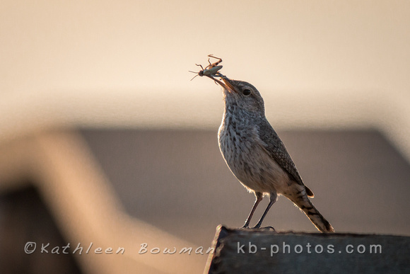 Rock Wren with Insect