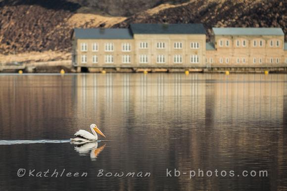 American White Pelican at Swan Falls Dam
