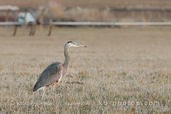 A single Great Blue Heron in a field during winter. Kuna, Idaho