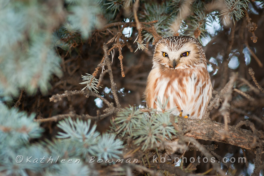 Saw-whet Owl perches in a conifer tree