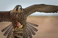 Peregrine Falcon-Oct. 09