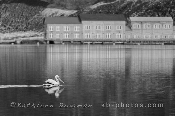 White Pelican at Swan Falls Dam in B&W