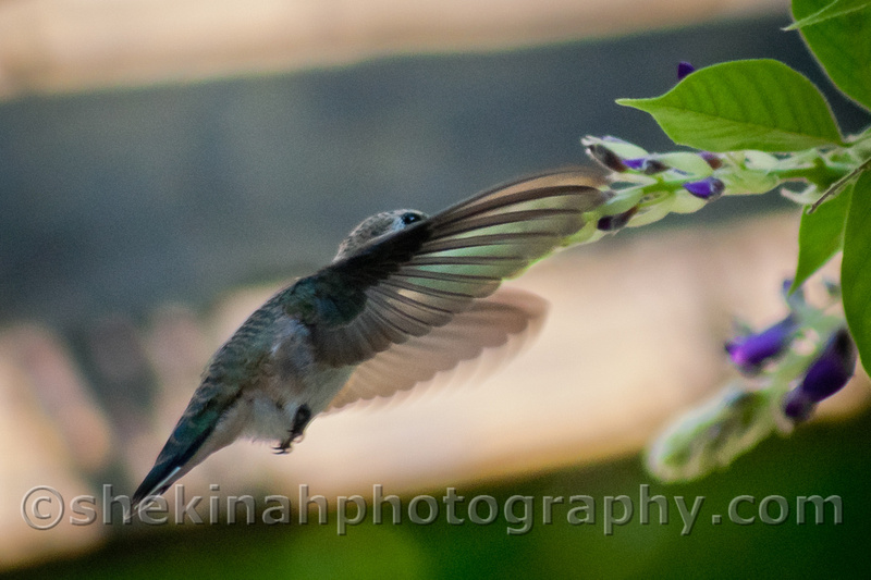 Shekinah Photography by Kathleen Bowman: My Backyard Birds  Backlit Hummingbird