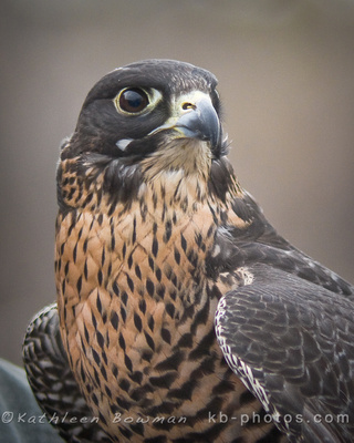 Shekinah Photography by Kathleen Bowman: Birds of Prey &emdash; Peregrine Falcon