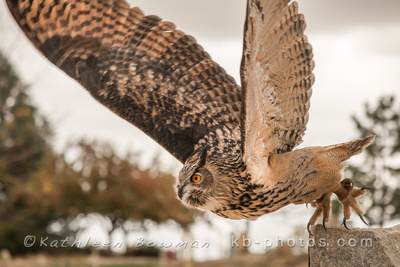 Shekinah Photography by Kathleen Bowman: Birds of Prey &emdash; Taking flight 1