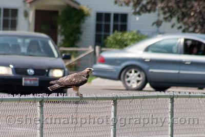 Shekinah Photography by Kathleen Bowman: Swainson's Hawks  Swainson's Hawk