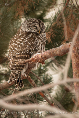 Shekinah Photography by Kathleen Bowman: New Link Gallery &emdash; Barred Owl (Strix varia)