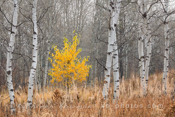 Fall Tree with Aspens